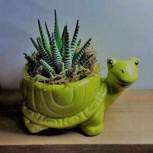 Zebra Succulent in Ceramic Turtle Planter